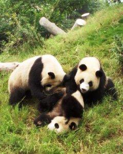 パンダの画像 p1_12