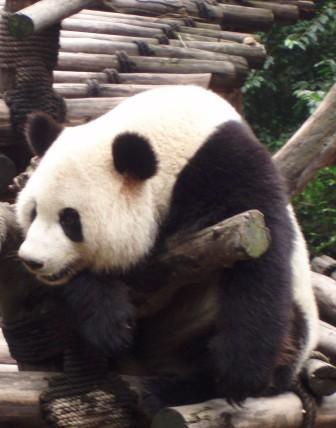 パンダの画像 p1_20